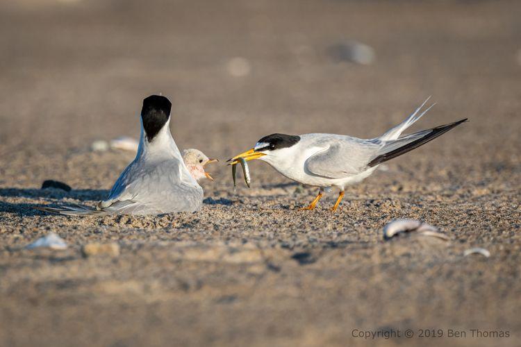 Tern Sandy Point SR Wild; sunri - bjt3 | ello