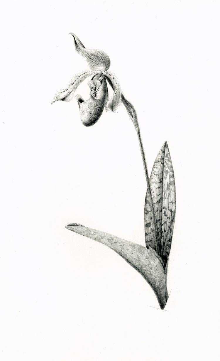 graphite drawing Venus-slipper  - steppielee | ello