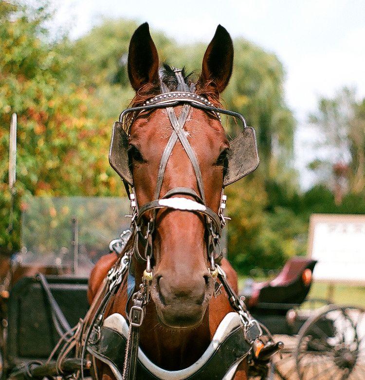 Amish Buggy Horse, Middlebury,  - mattbenedict | ello