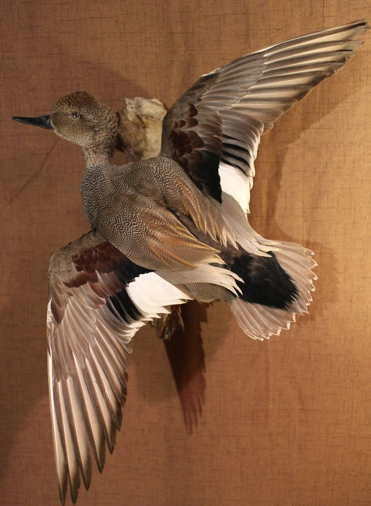 Gadwall duck taxidermy - elliestaxidermy | ello
