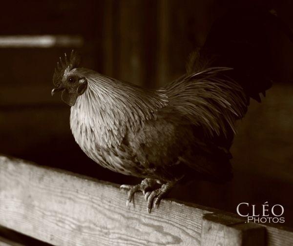 Le coq. Sutton, Québec. Photo:c - cleophotos | ello
