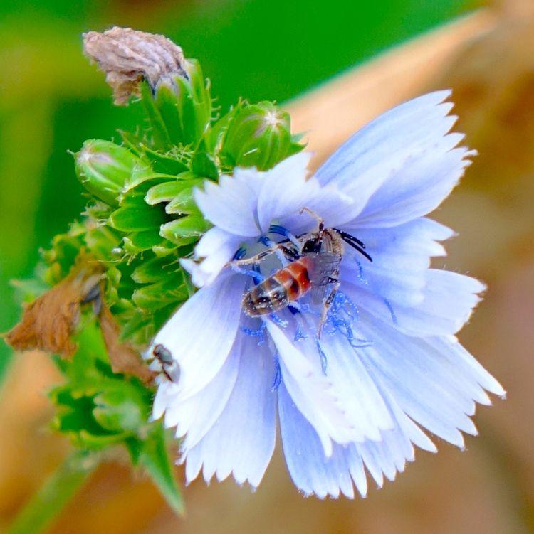 Gemeine Cichorium intybus, Noti - arnolfo | ello