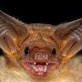 The Bat (@die_fledermaus) Avatar