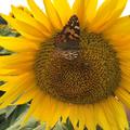 sunflowerjen (@sunflower_jen) Avatar