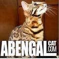 abengalcat.com Criadero Certificado (@abengalcat) Avatar