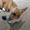 Peppers The Corgi (@thesouthernbellepepper) Avatar