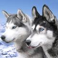 Cachorro Husky Siberiano (@huskysiberianodog) Avatar