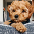 Golden Retriever Puppy (@cavadoodle) Avatar