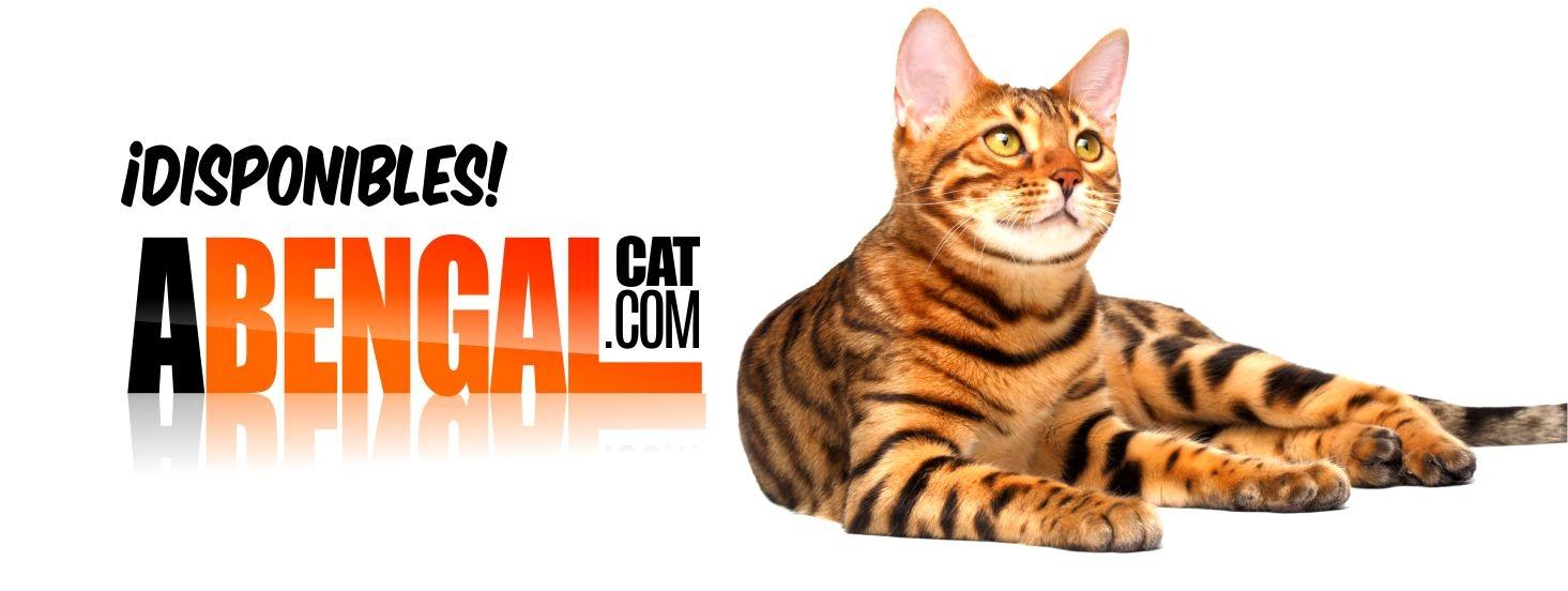abengalcat.com Criadero Certificado (@abengalcatcom) Cover Image