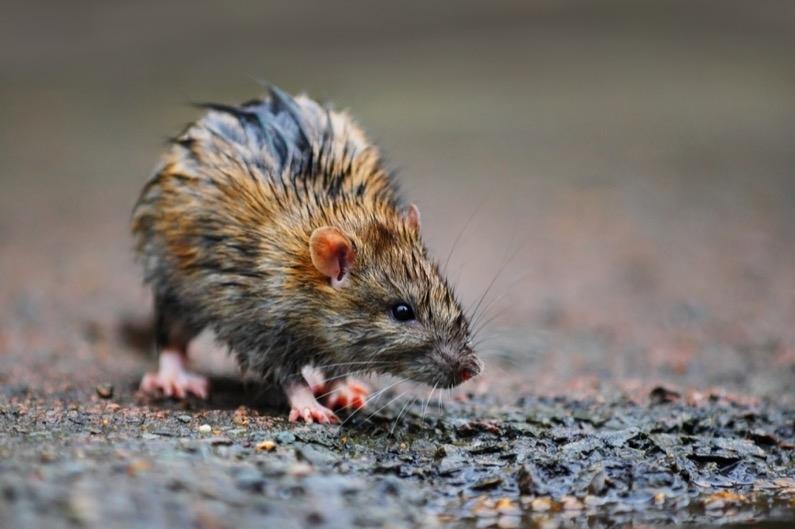 Rats Removal Perth (@ratsremovalperth) Cover Image