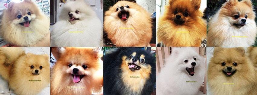 Pomeranian For Sale ThaiLand (@natchapomeranian) Cover Image