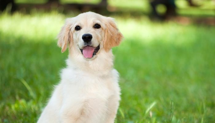Golden Retriever Puppy (@cavadoodle) Cover Image