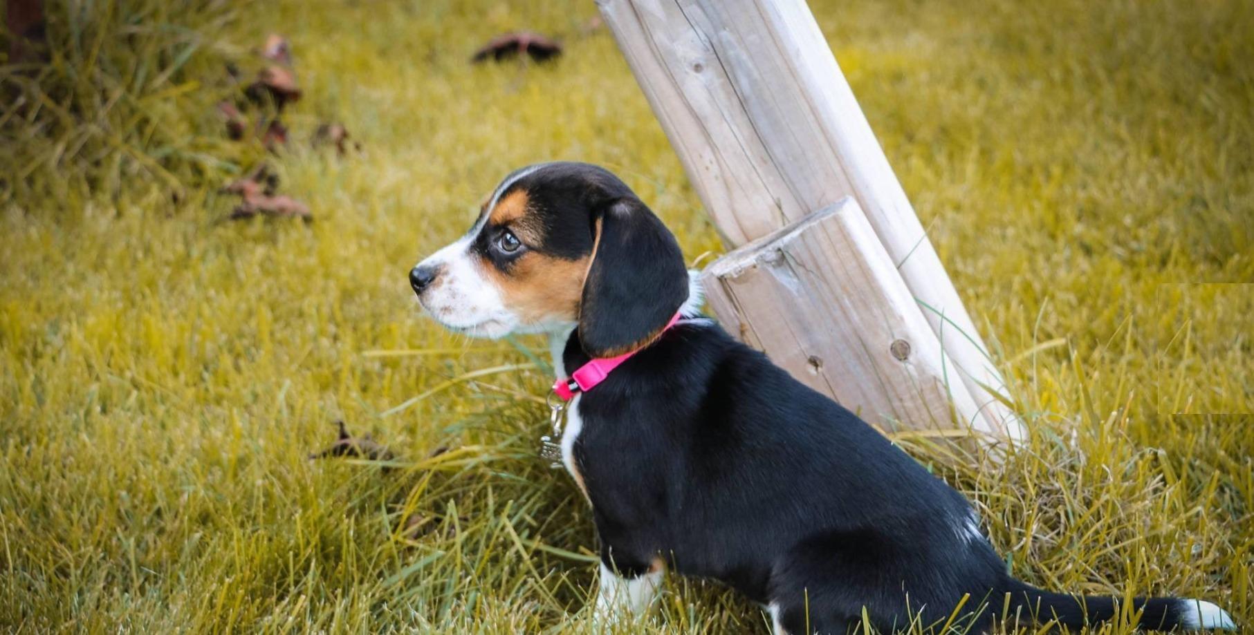 Adorable Beagles (@adorablebeagles) Cover Image