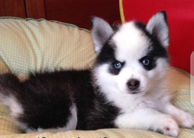 prettypomskypuppies (@prettypomskypuppies) Cover Image